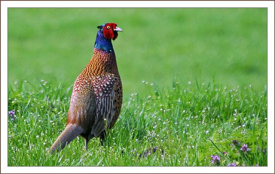 april-3-fazant
