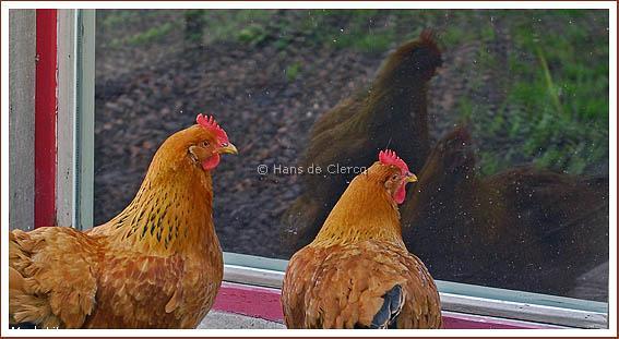 kippen buiten + wm