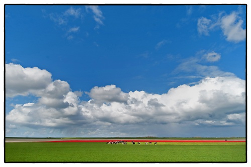Tulips, cattle and clouds: the quintessential Dutch landscape | 16 April 2012