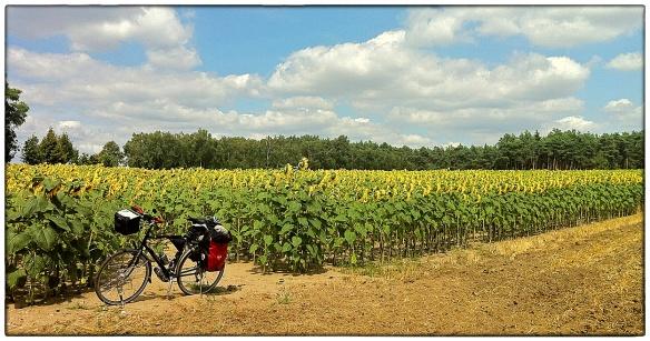 Niets dan zonnebloemen, eindeloze akkers vol. En dat verhaaltje, de 'tournesol', die altijd met zijn kopje naar de zon gekeerd staat? Onzin. Kijk maar naar de schaduw van mijn fiets. Alle koppen hadden mijn kan op moeten staan, maar dat doen ze niet.