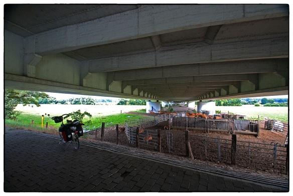 Geen warme dag, maar het vee zoekt beschutting onder een snelwegviaduct. Macht der gewoonte.
