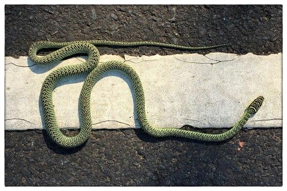 THAILAND - Reed er bijna overheen, doodstil lag hij (zij?) op de weg. Nam uiteindelijk de benen, gleed de berm in. Wordt hier Golden Tree Snake genoemd, hoort tot de 'vliegende slangen', 'maakt zweefvluchten door ribben te spreiden en zo de buikzijde breed en hol te maken.' (Bron: wikipedia.) Kan 1,30 m worden en is giftig, maar voor mensen niet dodelijk. Zo, jullie ook weer bijgepraat.