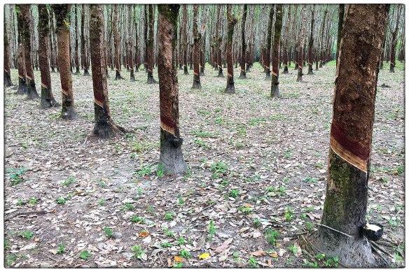 Rubberplantages. Die zag ik vooral in Thailand, in Maleisië is het oliepalmen wat de klok slaat. Mooi, die bomen in slagorde. En doodstil, nooit zag ik iemand, die bakjes worden niet vaak geleegd, het melken gaat langzaam.